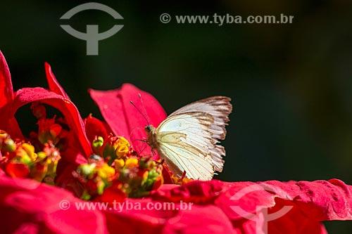 Detalhe de borboleta pousada em flor  - Rio Claro - São Paulo (SP) - Brasil