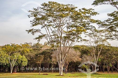 Tamboril (Enterolobium contortisiliquum) no Campus Ribeirão Preto da Universidade de São Paulo  - Ribeirão Preto - São Paulo (SP) - Brasil