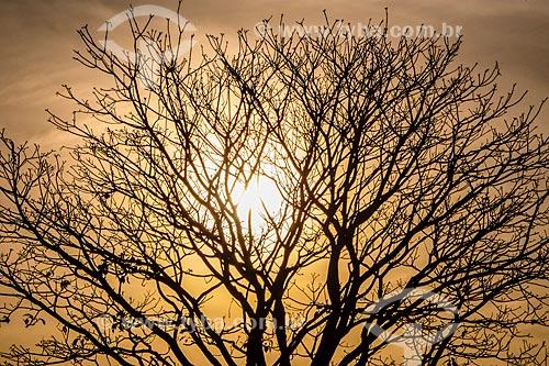 Silhueta de árvore seca durante o pôr do sol  - Ribeirão Preto - São Paulo (SP) - Brasil