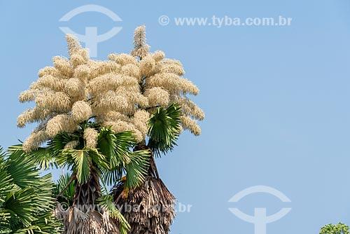Floração da Palmeira Talipot (Corypha umbraculifera) - espécie trazida do Sri Lanka para o Parque do Flamengo por Roberto Burle Marx  - Rio de Janeiro - Rio de Janeiro (RJ) - Brasil