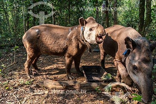Antas (Tapirus terrestris) com colar GPS para monitoramento animal na Reserva Ecológica de Guapiaçu  - Cachoeiras de Macacu - Rio de Janeiro (RJ) - Brasil