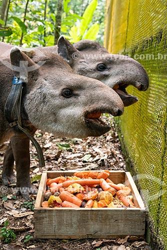 Casal de Antas (Tapirus terrestris) com colar GPS para monitoramento animal na Reserva Ecológica de Guapiaçu  - Cachoeiras de Macacu - Rio de Janeiro (RJ) - Brasil