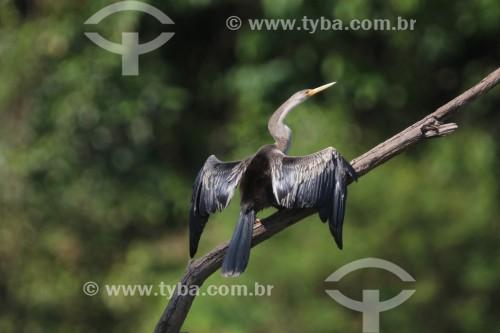 Biguatinga (anhinga anhinga) - Reserva de Desenvolvimento Sustentável Piagaçu-Purus - Beruri - Amazonas (AM) - Brasil