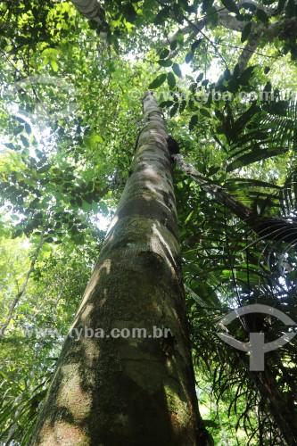 Copaíba (Copaifera langsdorffii) - Reserva de Desenvolvimento Sustentável do Juma - Novo Aripuanã - Amazonas (AM) - Brasil