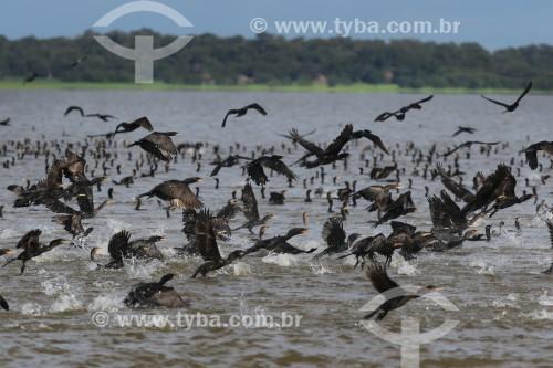 Revoada de Mergulhões no Rio Purus - Reserva de Desenvolvimento Sustentável Piagaçu-Purus - Beruri - Amazonas (AM) - Brasil
