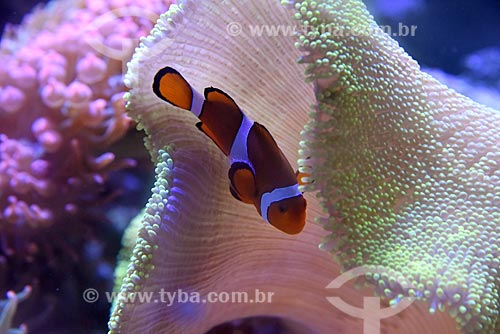 Detalhe de peixe-palhaço (Amphiprion ocellaris) no AquaRio - aquário marinho da cidade do Rio de Janeiro  - Rio de Janeiro - Rio de Janeiro (RJ) - Brasil