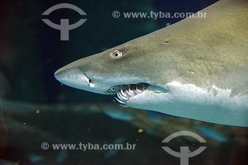 Tubarão no AquaRio - aquário marinho da cidade do Rio de Janeiro  - Rio de Janeiro - Rio de Janeiro (RJ) - Brasil