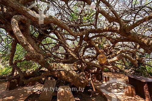 Troncos de Umbuzeiro (Spondias tuberosa)  - Iraquara - Bahia (BA) - Brasil