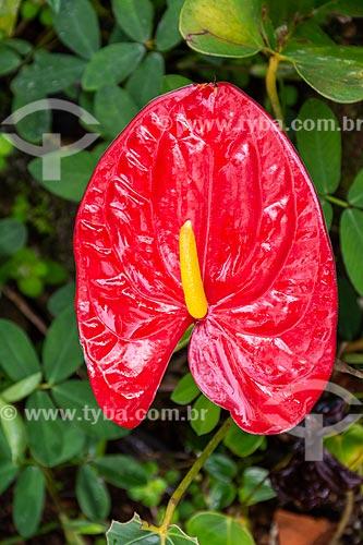 Detalhe de antúrio (Anthurium andraeanum) na Área de Proteção Ambiental da Serrinha do Alambari    - Resende - Rio de Janeiro (RJ) - Brasil