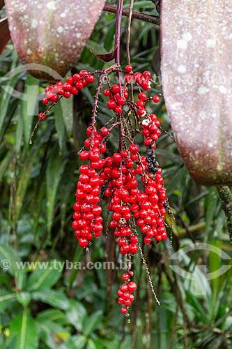 Detalhe de cacho com pequenas frutas vermelhas  - Resende - Rio de Janeiro (RJ) - Brasil