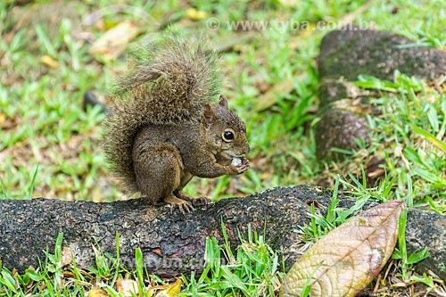 Esquilo sobre raíz de árvore, alimentando-se de pequeno coco  - Resende - Rio de Janeiro (RJ) - Brasil