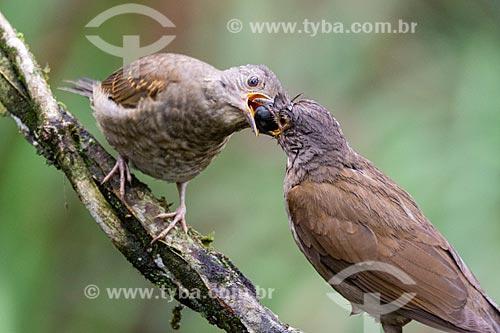 Casal de Sabiás-laranjeira (Turdus rufiventris) comendo fruto da Palmeira Jussara  - Resende - Rio de Janeiro (RJ) - Brasil