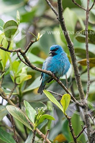 Saí-azul (Dacnis cayana)  - Resende - Rio de Janeiro (RJ) - Brasil
