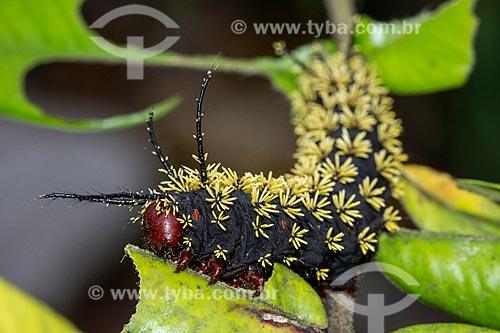 Lagarta de mariposa preta e amarela  - Resende - Rio de Janeiro (RJ) - Brasil