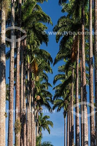 Palmeiras imperiais no Jardim Botânico do Rio de Janeiro  - Rio de Janeiro - Rio de Janeiro (RJ) - Brasil