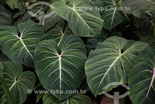 Detalhe de folhas de planta no Jardim Botânico do Rio de Janeiro  - Rio de Janeiro - Rio de Janeiro (RJ) - Brasil