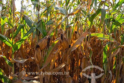 Plantação de milho em pequena propriedade rural  - Derrubadas - Rio Grande do Sul (RS) - Brasil