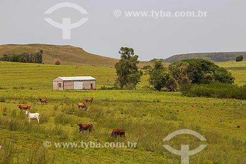 Gado da raça angus na paisagem de coxilhas dos campos sulinos  - Rosário do Sul - Rio Grande do Sul (RS) - Brasil