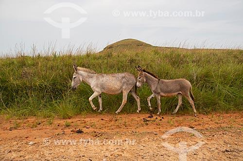 Grupo de burros nos campos sulinos com cerro ao fundo  - Rosário do Sul - Rio Grande do Sul (RS) - Brasil