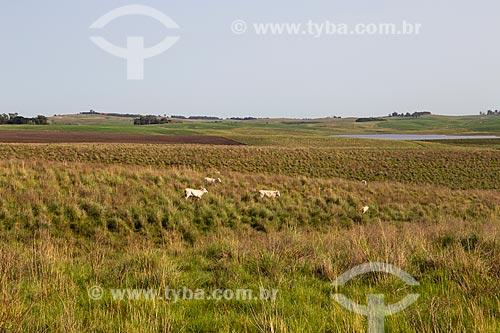 Gado na paisagem de campos nativos dos campos sulinos  - Rosário do Sul - Rio Grande do Sul (RS) - Brasil