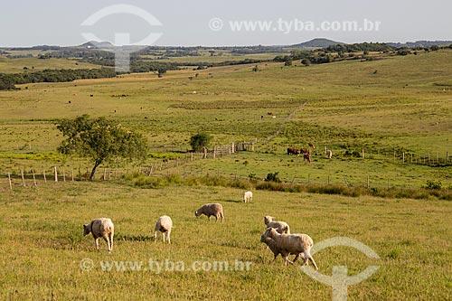 Rebanho ovino pastando nos campos sulinos - próximo à fronteira com o Uruguai  - Santana do Livramento - Rio Grande do Sul (RS) - Brasil
