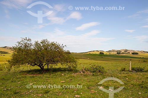 Arbusto de Espinilho (Vachellia caven) nos campos sulinos  - Quaraí - Rio Grande do Sul (RS) - Brasil