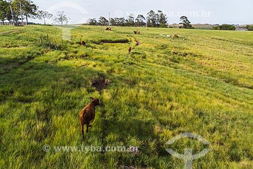 Foto feita com drone de gado da raça angus na paisagem de coxilhas dos campos sulinos  - Rosário do Sul - Rio Grande do Sul (RS) - Brasil