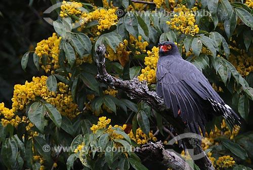 Gavião-Azul (Buteogallus schistaceus) no Igapó do Lago do Mamori  - Careiro - Amazonas (AM) - Brasil