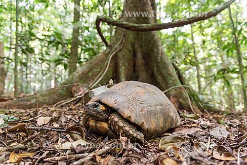 Tartaruga de pés amarelos com rastreador GPS em projeto de biologia na Floresta da Tijuca  - Rio de Janeiro - Rio de Janeiro (RJ) - Brasil