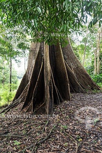 Sumaúma (Ceiba pentandra) na Floresta amazônica  - Iranduba - Amazonas (AM) - Brasil
