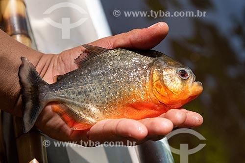 Mão segurando uma piranha na Amazônia  - Iranduba - Amazonas (AM) - Brasil