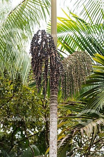 Açaizeiro na Floresta Amazônica  - Amazonas (AM) - Brasil