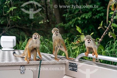 Macaco-de-cheiro (Saimiri sciureus) na floresta amazônica  - Iranduba - Amazonas (AM) - Brasil