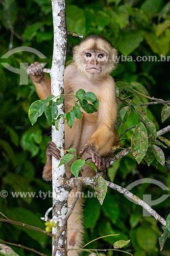 Macaco Prego na floresta amazônica  - Iranduba - Amazonas (AM) - Brasil
