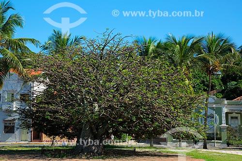 Baobá (Adansonia) na Rua do Sol  - Olinda - Pernambuco (PE) - Brasil