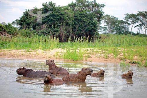 Capivaras (Hydrochoerus hydrochaeris) - Pantanal Matrogrossense  - Poconé - Mato Grosso (MT) - Brasil