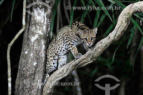 Jaguatirica (Leopardus pardalis)  - Poconé - Mato Grosso (MT) - Brasil