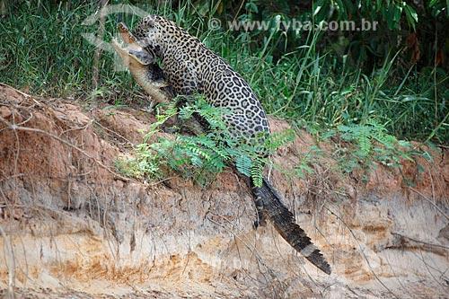 Onça pintada (Panthera onca) caçando jacaré na margem do Rio Três Irmãos  - Poconé - Mato Grosso (MT) - Brasil