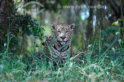 Onça pintada (Panthera onca)  - Poconé - Mato Grosso (MT) - Brasil