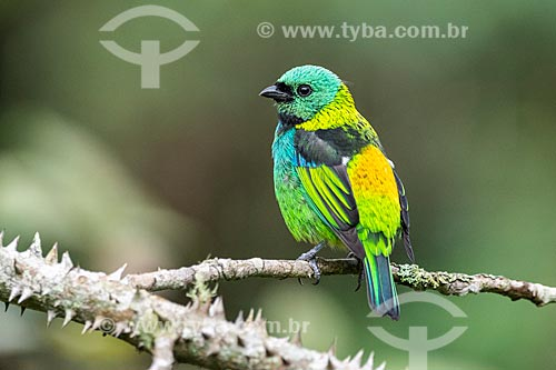 Datalhe de saíra-sete-cores (Tangara seledon) na Área de Proteção Ambiental da Serrinha do Alambari  - Resende - Rio de Janeiro (RJ) - Brasil