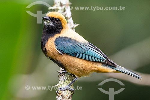 Detalhe de Saíra-amarela (Tangara cayana) - também conhecida como Saí-amarelo ou Saí-de-asas-verdes - na Área de Proteção Ambiental da Serrinha do Alambari  - Resende - Rio de Janeiro (RJ) - Brasil