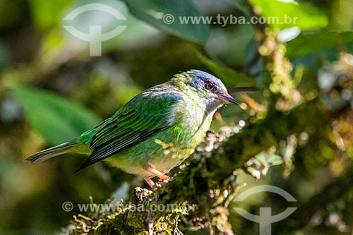 Saí-azul (Dacnis cayana) fêmea - na Área de Proteção Ambiental da Serrinha do Alambari  - Resende - Rio de Janeiro (RJ) - Brasil