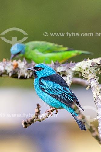 Saí-azul (Dacnis cayana) - na Área de Proteção Ambiental da Serrinha do Alambari  - Resende - Rio de Janeiro (RJ) - Brasil