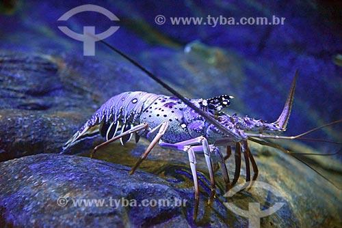 Detalhe de camarão no AquaRio - aquário marinho da cidade do Rio de Janeiro  - Rio de Janeiro - Rio de Janeiro (RJ) - Brasil