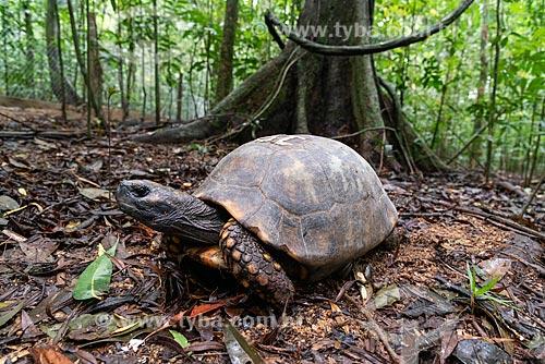 Jabuti-tinga (Chelonoidis denticulata) no Parque Nacional da Tijuca  - Rio de Janeiro - Rio de Janeiro (RJ) - Brasil