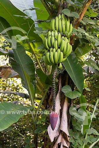 Detalhe de cacho de banana  - Cachoeiras de Macacu - Rio de Janeiro (RJ) - Brasil