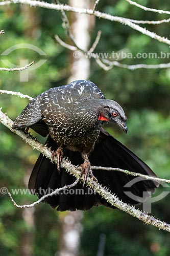Jacuguaçu (Penelope obscura) na Área de Proteção Ambiental da Serrinha do Alambari  - Resende - Rio de Janeiro (RJ) - Brasil