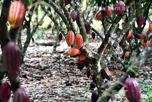 Plantação de cacau  - Belmonte - Bahia (BA) - Brasil