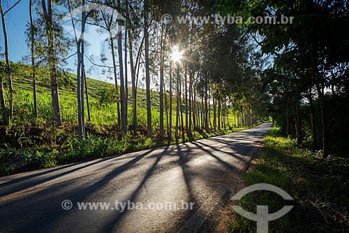 Raios de sol e Eucaliptos às margens da rodovia MG-353  - Guarani - Minas Gerais (MG) - Brasil