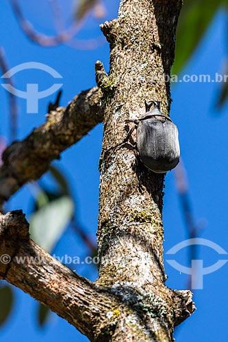 Besouro (Megasoma anubis) em tronco de árvore - Área de Proteção Ambiental da Serrinha do Alambari  - Resende - Rio de Janeiro (RJ) - Brasil